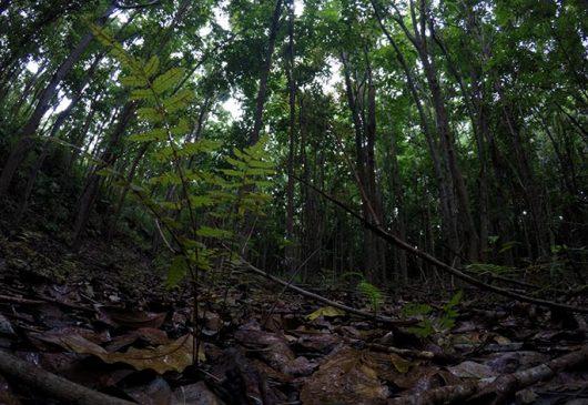 Konservasi tumbuhan pamah di kawasan Wallacea