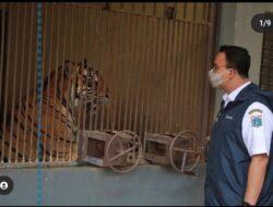 Pelaku penjualan kulit Harimau Sumatera berhasil diamankan