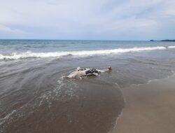 Bangkai paus terdampar di pantai Batu Pinagut Bolmut