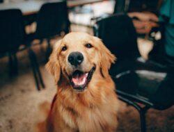 Studi menjelaskan pentingnya mengelus anjing peliharaan sebelum pergi