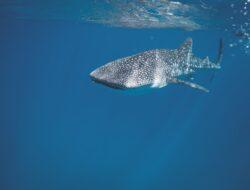 Sains di balik pengusiran hiu dengan magnet